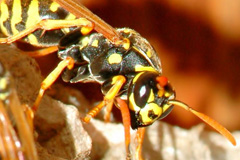 wasp control costs
